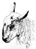 sheep head illustration